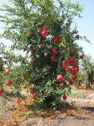 november is national pomegranate month