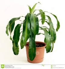 corn plant houseplant stock photo image 26038390