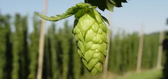 growers gorst valley hops