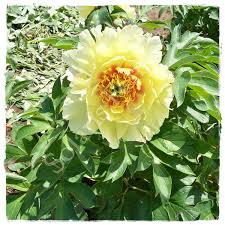 yellow peonies intersectional paeonia catalog
