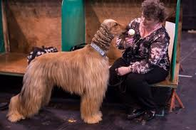 afghan hound snood crufts 2017 photos of very good dogs arriving to compete metro news