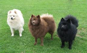 belgian sheepdog for sale in michigan german spitz breeders in the united states puppies for