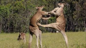 kangaroos square off in dirty street fights extras life story