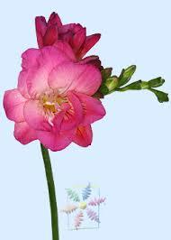 freesia flower freesia flower information freesia cut flower flower shop network