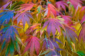 fall foliage add these colorful leaves to the autumn garden