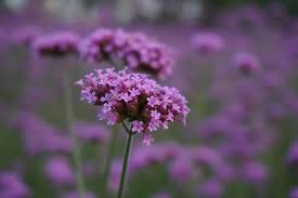 purple flowers 62 purple flower types with pictures flowerglossary