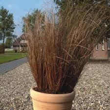 the rooster carex grass plant is low maintenance and