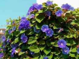 Morning Glory Climbing Plant - ipomoea