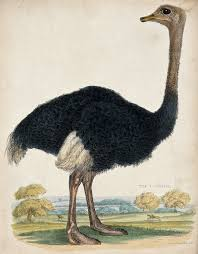 file zoological society of london an ostrich coloured etching