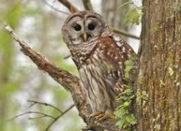 Scientific Name Of Barn Owl Barred Owl Life History All About Birds Cornell Lab Of Ornithology
