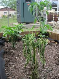 Vegetable Gardens In Florida by Peppers And Phytophthora Root Rot