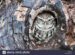 athene noctua owl in a tree hollow in the
