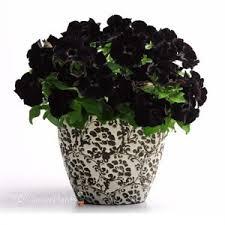 109 best black velvet petunias images on pinterest petunias