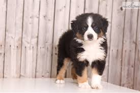 australian shepherd puppies for sale los angeles lace australian shepherd puppy for sale near columbus ohio