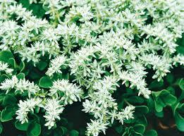 Flower Shrubs For Shaded Areas - sedum ternatum 3