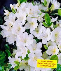 Pflanzen Fur Japanischen Garten Rhododendron Pflanzen Pflege Und Tipps Mein Schöner Garten