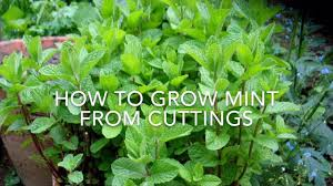 how to grow mint pudina from cuttings easy way to grow