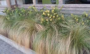 Ornamental Home Design Inc by Exterior Design Mexican Feather Grass For Inspiring Garden Plants