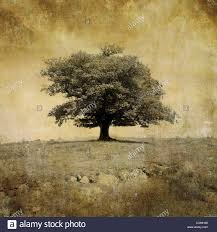 oak tree silhouette stock photos oak tree silhouette stock