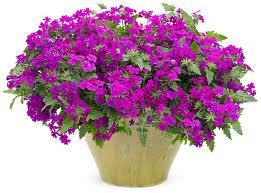 verbena flower superbena purple verbena hybrid proven winners