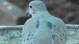 mourning doves backyard garden and house sparrow birds youtube