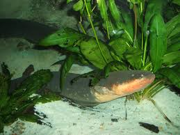 freshwater fish the deadliest freshwater fish