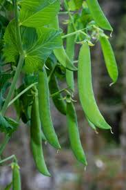 the 25 best growing peas ideas on pinterest pea trellis