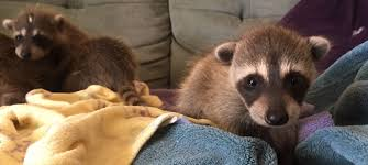 Zoo Lights Oakland Ca by Oakland Zoo Rescues Baby Raccoons Accidentally Brought Cross