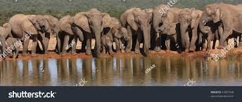 elephant herd panorama stock photo 41827348 shutterstock