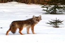 Coyote Hunting Lights Can Coyotes See Red Light Hunting Tips Foremost Coyote Hunting