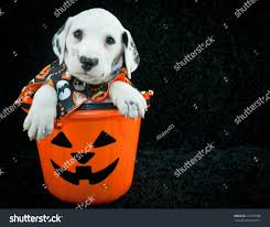 a halloween background cute dalmatian puppy sitting halloween bucket stock photo