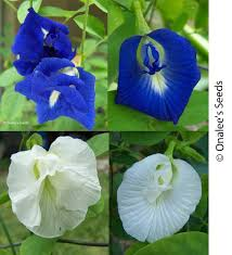 butterfly pea vines mixed seeds blue white single and