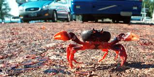 millions of migrating crabs invade cuba u0027s bay of pigs