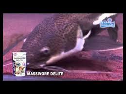 hikari massivore sinking pellets massivore delite kyorin hikari tropicalfish diets youtube