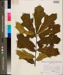 plants native to alabama quercus austrina species page apa alabama plant atlas