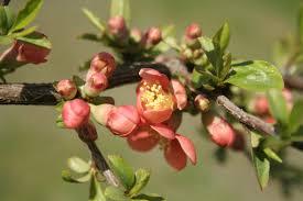 free images tree nature branch blossom fruit leaf flower