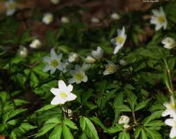 spring flowers anemones free stock photo public domain pictures