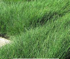 green fescue seed clumping ornamental grass non invasive sheep s