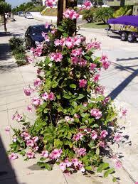 trees plants flowers fruits mandevilla plants mandevilla plants