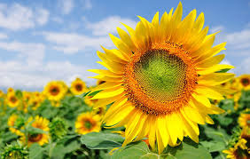 the best way to grow beautiful and useful sunflowers rodale u0027s