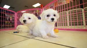 bichon frise breeders near me darling maltichon puppies for sale in georgia at puppies for