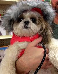 shih tzu haircuts 20 adorable shih tzus with stunning haircuts hairstylec