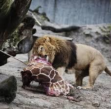 nach giraffe marius kopenhagener zoo tötet vier gesunde löwen welt