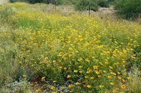 native desert plants kallstroemia grandiflora native jpg