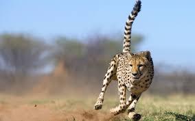 cheetah animal desktop hd photos http www atozpictures com