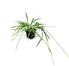 chlorophytum comosum u0027spider plant u0027 grower u0027s choice josh u0027s frogs