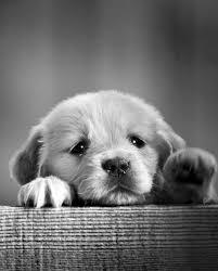 black n white golden retriever picture dog breeders guide
