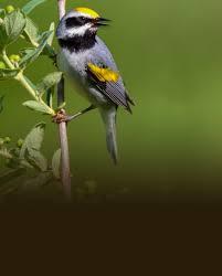 birds american bird conservancy