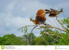 group of hoatzins episthocomus hoazin endemic bird sitting on a