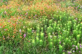 Flowers In Waco - waco mom wildflower watch june